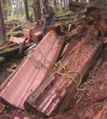 Old Growth Western Red Cedar being harvested to be made into Shingles