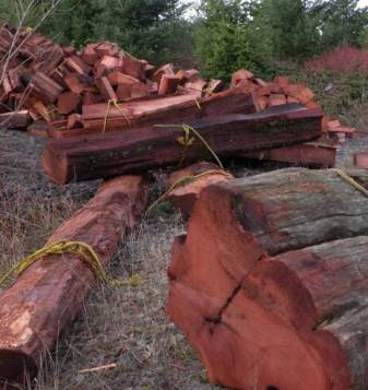 Western Red Cedar Being Harvested for Cedar Shakes