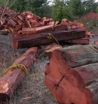 Western Red Cedar Being Harvested for Cedar Shakes